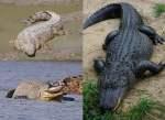 Perbedaan antara Buaya dan Alligator: 10 Fakta yang Perlu Diketahui