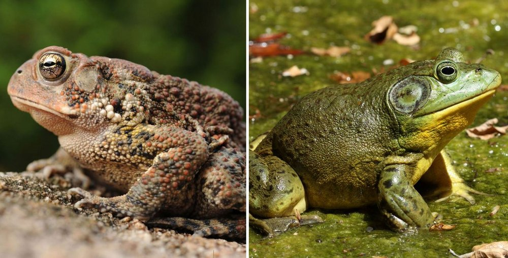 perbedaan antara kodok dan katak