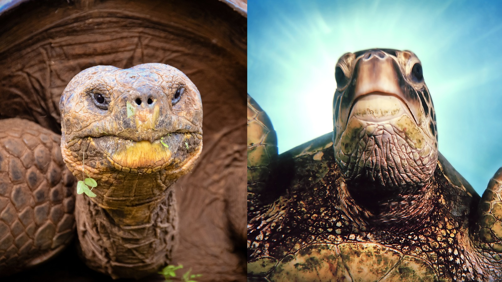 perbedaan moncong kura-kura vs. penyu