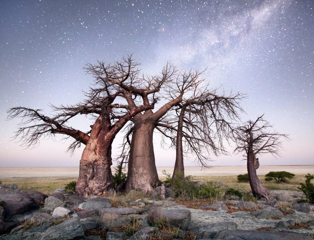pohon baobab raksasa afrika