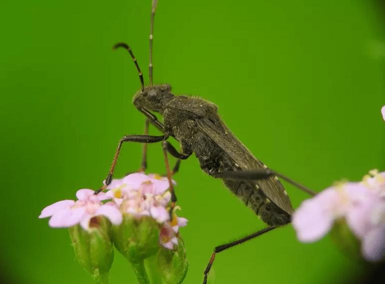 assassin bug hinggap di atas bunga
