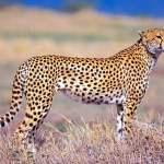 cheetah sedang berada di padang rumput