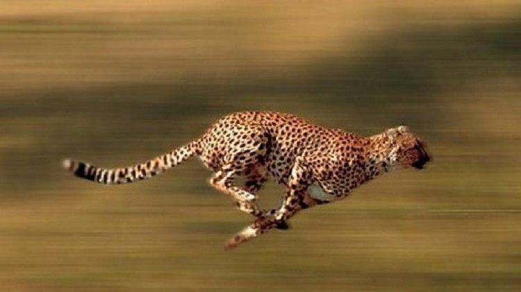 cheetah sedang berlari mengejar mangsa