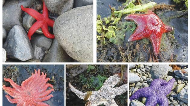 lima spesies bintang laut