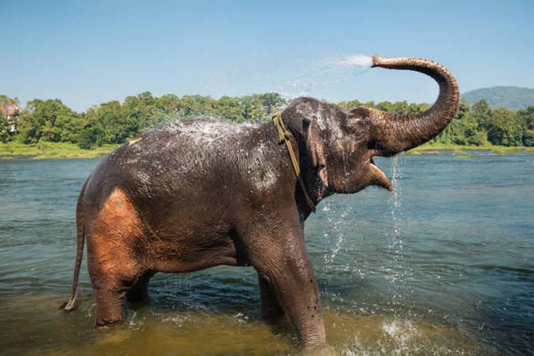 gajah asia mandi di sungai