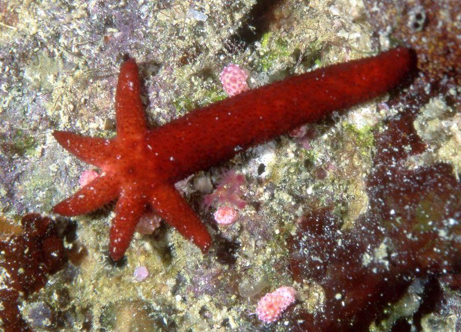 lengan bintang laut tumbuh kembali