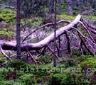 Cairngorms Forest 2 (www.blairthomson.com)