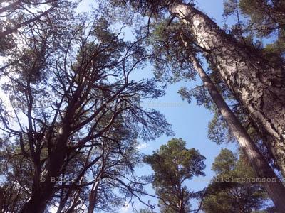 Cairngorms Forest 3 (www.blairthomson.com)