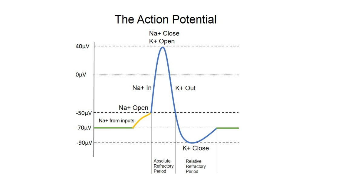 Action Potential Diagram
