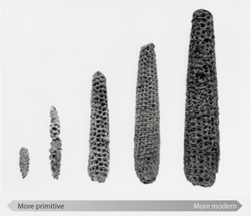 Corn progression. Source: University of Utah - Genetics