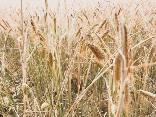 Campo de trigo en junio