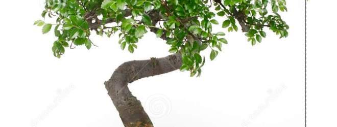 The Secret Under the Bonsai Tree