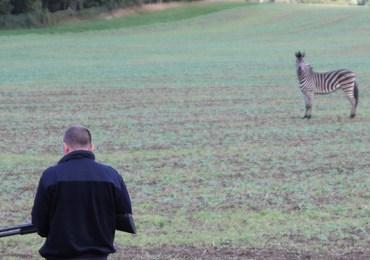 Zirkus-Zebra ausgebüxt - Erschossen!
