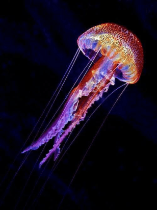 Jellyfish: (source)