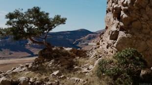 pine on rock 1