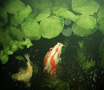 fishpond2