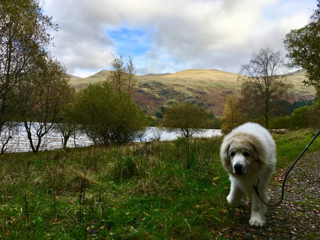 Walkies with our Pyrenean Mountain Dog at Thirlmere