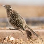 Lessons in Love from a Roadrunner