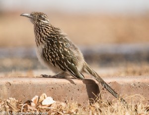 At first glance, the roadrunner isn't very remarkable.