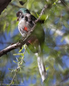 The elusive bird, an immature male Elegant Trogon, seems a little camera shy.