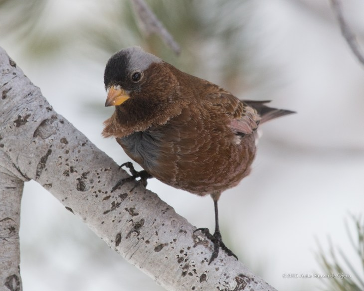 Gray-capped Rosy Finch