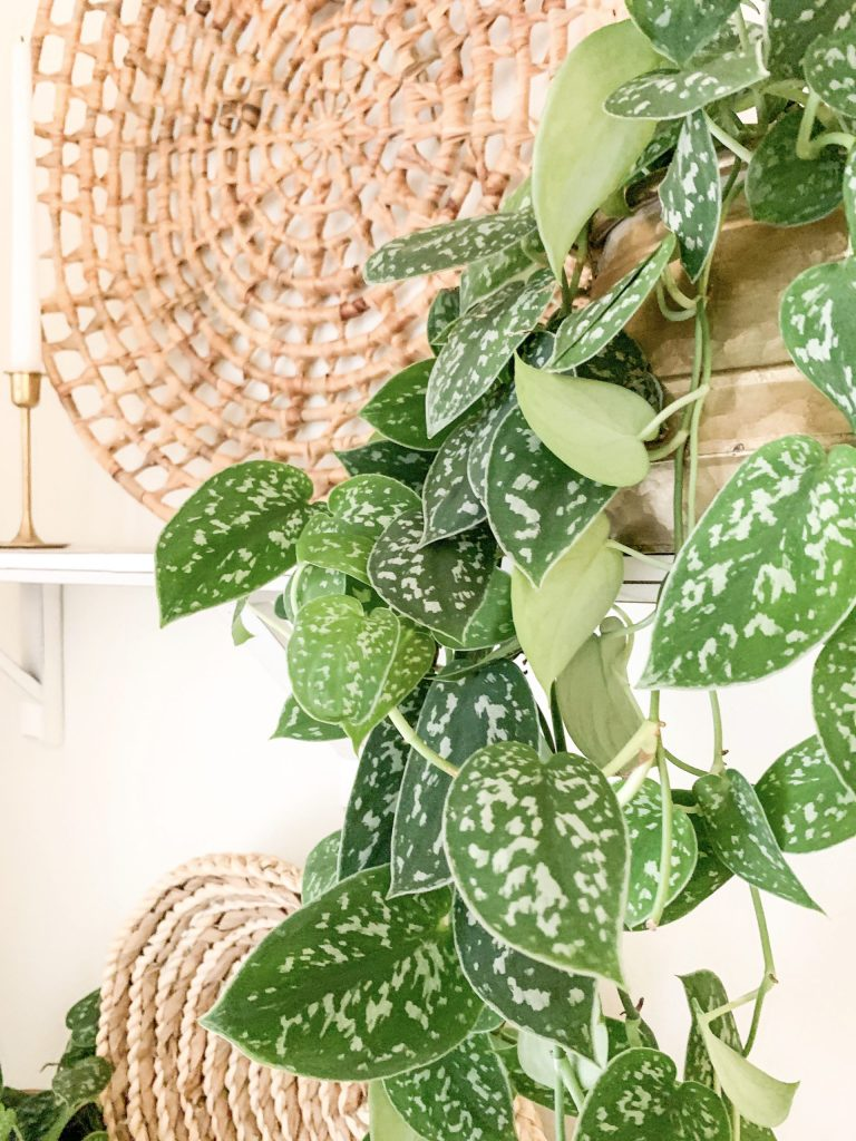 silver pothos draping down a white shelf
