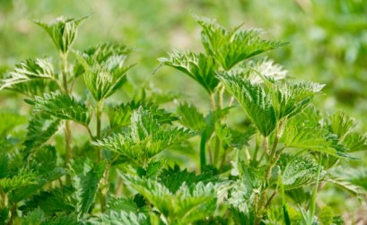 plantes sauvages comestibles, les orties