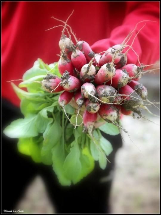 Semailles produit des radis bio