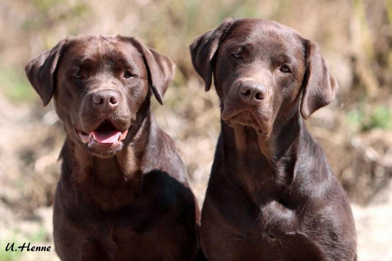 Charity-Wettkampf für herzkranke Labrador Retriever