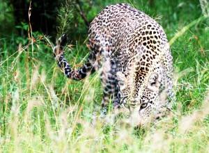 31.leopard