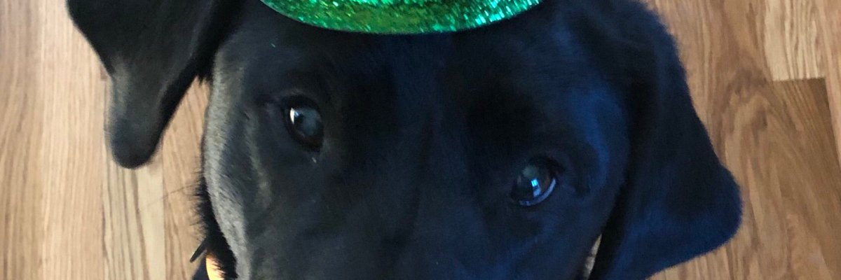 Fauna the black lab guide dog wearing a st. paddies hat.