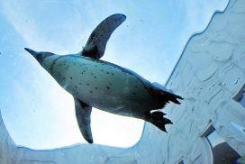 肥嘟嘟企鵝空中「飛行」的可愛畫面! 東京Sunshine水族館新節目