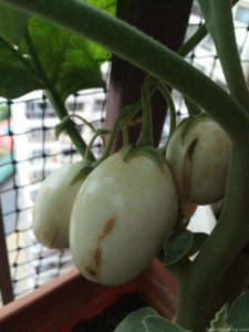 Organic White Brinjal, Balcony Gardening, Produce of the day, Organic Herbs & Vegetables