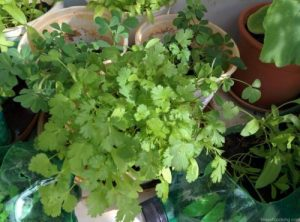 Organic Coriander and Fenugreek, Balcony Gardening, Produce of the day, Organic Herbs & Vegetables