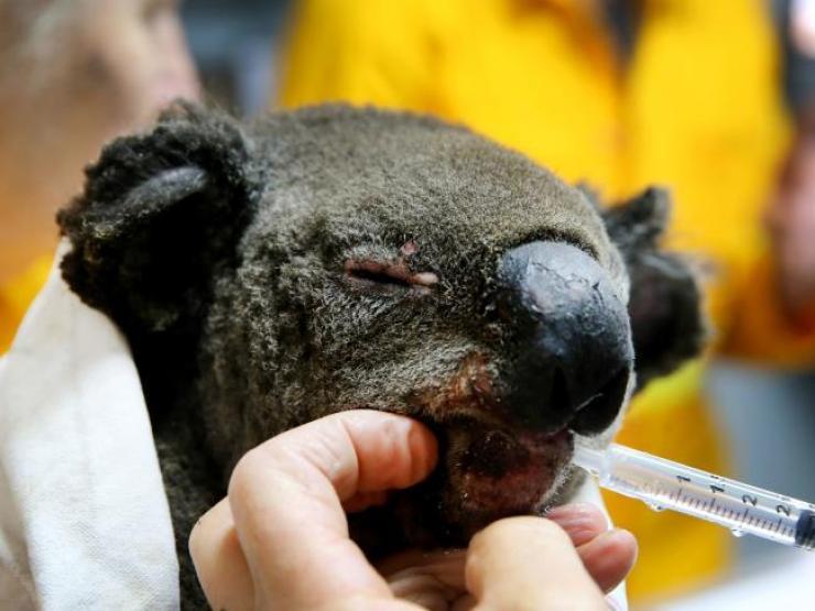 koala incendio