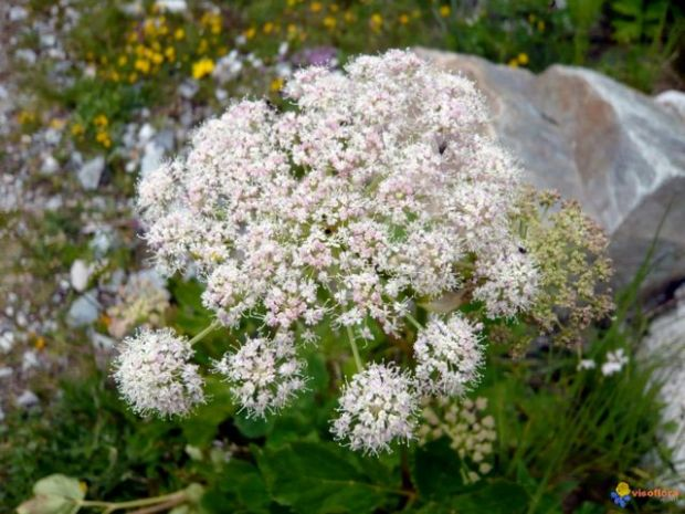 imperatoria-planta-medicinal