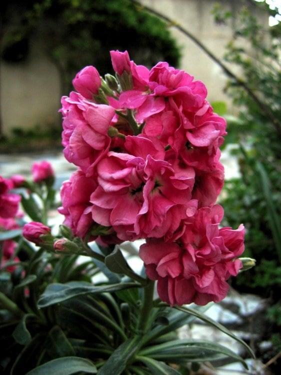 goivo-cor-de-rosa