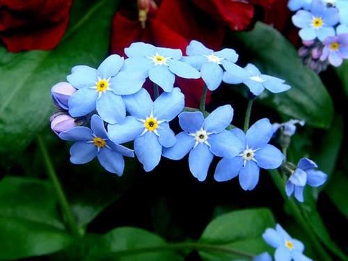 miosotis-flor-22