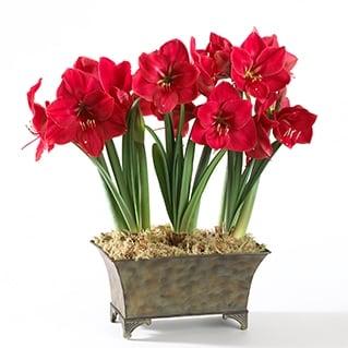 Amarilis ou Hippeastrum - Flor de Inverno