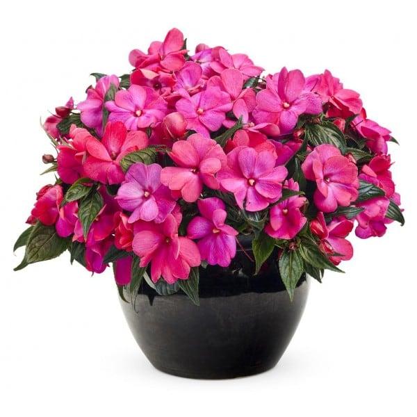 flores-beijo-de-frade-foto-56