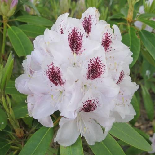 rododendro-foto-79