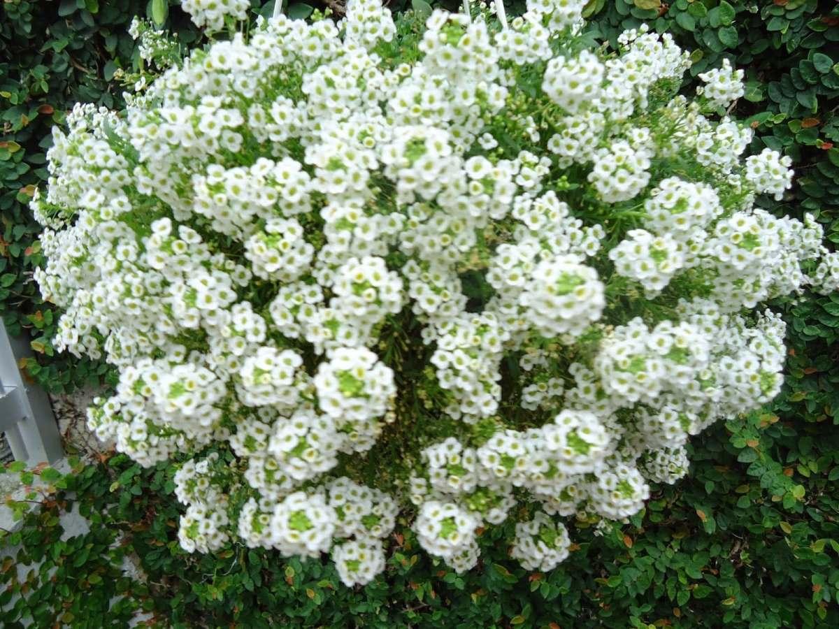 Flor de Mel - Família Brassicacea