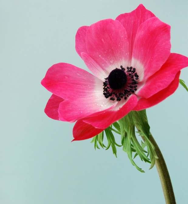 anemona-flor-f-55