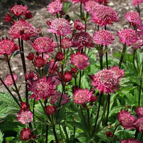 astrancia-rosa-flor-27