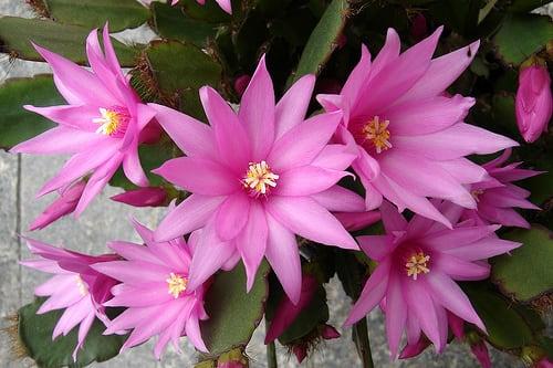 Flor-de-Outubro - Hatiora rosea