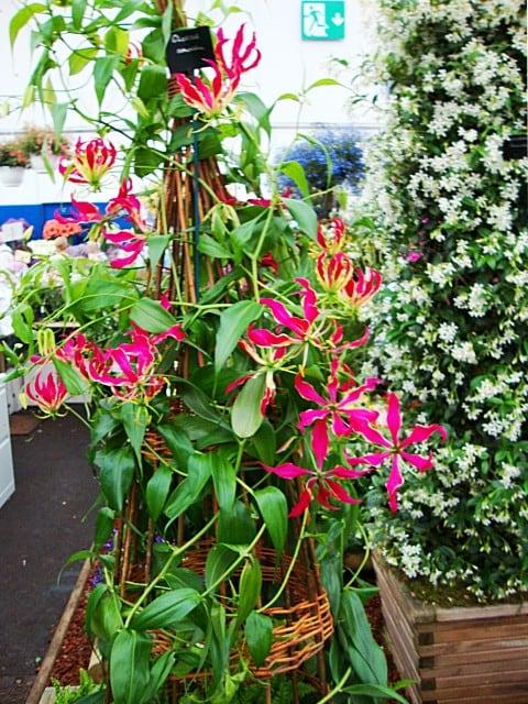 gloriosa-flor-foto-45