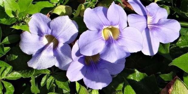 Tumbergia-Azul-foto-100