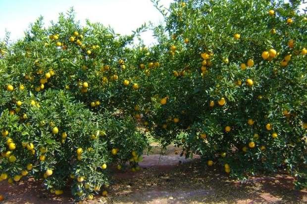 laranja-planta-67