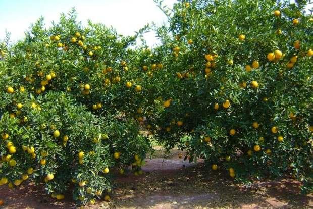 Laranja (Citrus sinensis)