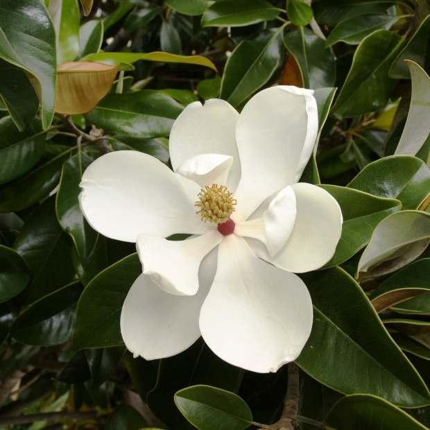 magnolia-grandiflora-55